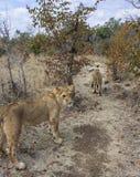 Petit Lion Cubs Photographie stock