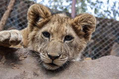 Petit Lion Cubs Photos stock