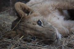 Petit Lion Cubs Image stock