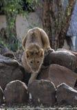 Petit Lion Cubs Photos libres de droits