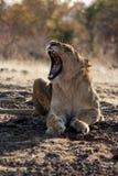Petit Lion Cubs Photographie stock libre de droits