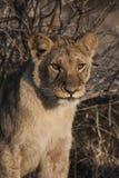Petit Lion Cubs Images stock
