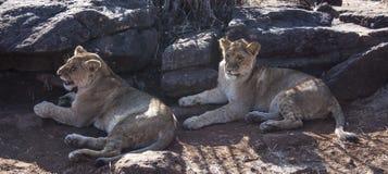Petit Lion Cubs Photo stock