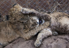 Petit Lion Cubs Photo stock