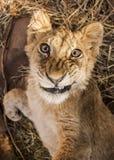 Petit Lion Cubs Images libres de droits