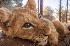 Petit Lion Cubs Photos stock