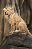 Petit lion fier Photographie stock