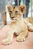Petit lion regardant le photographe Photos stock