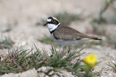 Petit mâle de gravelot en multipliant le plumage images stock