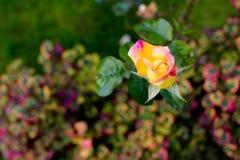 Petit macro rose de tête de rose de jaune Tir de première vue Photographie stock libre de droits