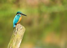 Petit martin-pêcheur commun photo libre de droits
