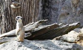 Petit meerkat mignon dans le zoo images libres de droits
