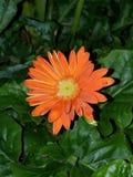Petit minuscule de Gerber d'été orange de marguerite photos stock