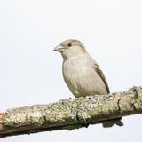 Petit moineau d'oiseau images stock
