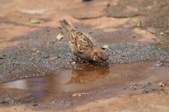 Petit moineau d'oiseau sur rechercher la nourriture photos libres de droits