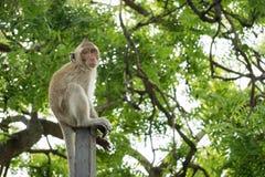 Petit mokey se reposant sur un poteau en métal avec le backg vert trouble d'arbre Photo stock