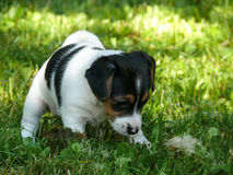 Petit monde l'explorant de Jack Russell Terrier Puppy photos stock