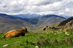 Petit morceau de vache une vue Photo stock