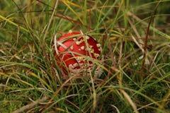 Petit muscaria d'amanite caché dans l'herbe Photo libre de droits
