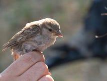 Petit oiseau étant tenu Image libre de droits