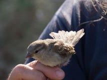Petit oiseau étant tenu Photos stock