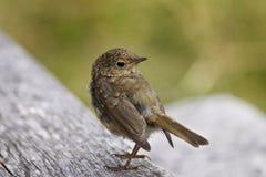 Petit oiseau Images libres de droits