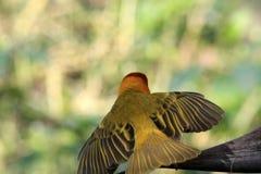 Petit oiseau africain jaune de tisserand dehors Images libres de droits