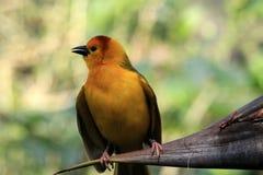 Petit oiseau africain jaune de tisserand dehors Image stock
