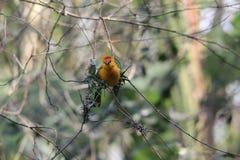 Petit oiseau africain jaune de tisserand dehors Image libre de droits