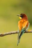 Petit oiseau avec un plumage intéressant images libres de droits