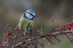 Petit oiseau bleu dans la faune Photos stock