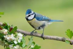 Petit oiseau bleu dans la faune Image libre de droits