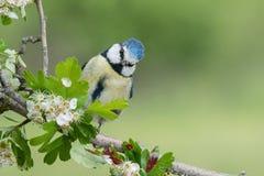 Petit oiseau bleu dans la faune Photographie stock libre de droits