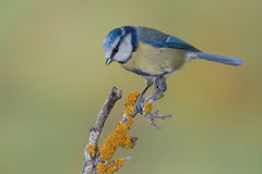 Petit oiseau bleu dans la faune Photos libres de droits