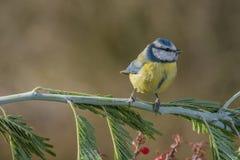 Petit oiseau bleu dans la faune Images libres de droits