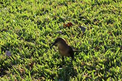 Petit oiseau brun Photo stock