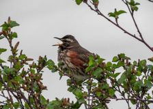 Petit oiseau chantant sur des trois verts, Islande photographie stock libre de droits
