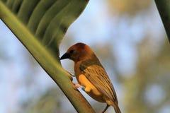 Petit oiseau comme un pinson jaune dehors Photos stock