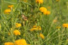 petit oiseau dans le domaine Photographie stock