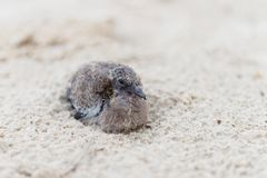 Petit oiseau de bébé sur la plage de sable Photos stock