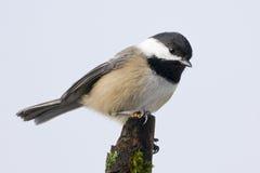 Petit oiseau de Chickadee recouvert par noir Photo stock
