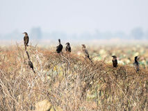 Petit oiseau de Cormorant Images stock