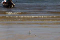 Petit oiseau de mer sur la plage sablonneuse recherchant la nourriture de crabe Image libre de droits