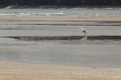 Petit oiseau de mer sur la plage sablonneuse recherchant la nourriture de crabe Photo stock