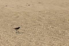 Petit oiseau de mer sur la plage sablonneuse recherchant la nourriture de crabe Photographie stock libre de droits