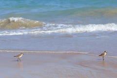 Petit oiseau de mer sur la plage sablonneuse recherchant la nourriture de crabe Image stock