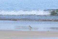 Petit oiseau de mer sur la plage sablonneuse recherchant la nourriture de crabe Photographie stock