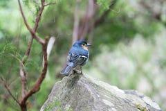 Petit oiseau de pinson été perché dans une roche Image stock