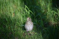 Petit oiseau de poussin sur l'herbe photos stock
