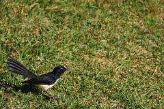 Petit oiseau de Willie Wagtail Image stock